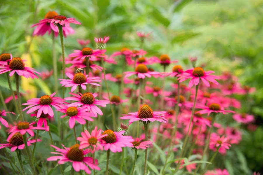 Field of purple coneflowers like those found at the Norfolk Botanical Gardens