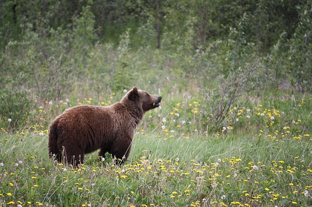 grizzly-73505_640